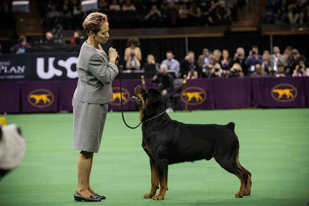 Ротвейлер на 138-й Вестминстерской выставке собак. Фото: Andrew Burton/Getty Images