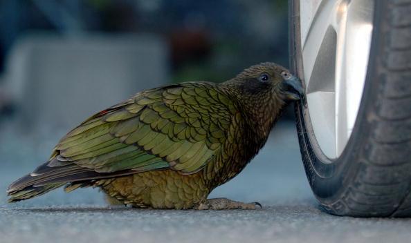 Попугай кеа. Фото: Ross Land/Getty Images