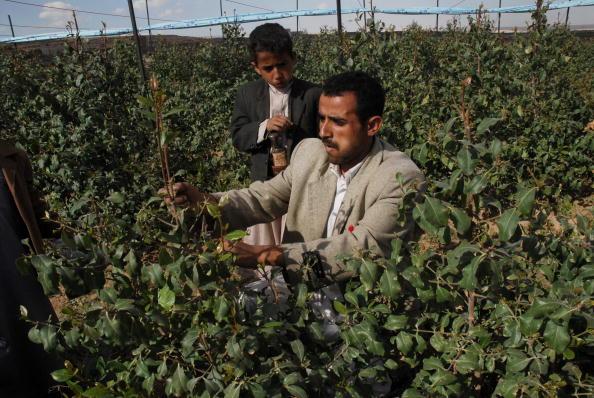 Йеменские фермеры жуют листья ката, которое является лёгким наркотиком -стимулятором. Фото: KHALED FAZAA/AFP/Getty Images