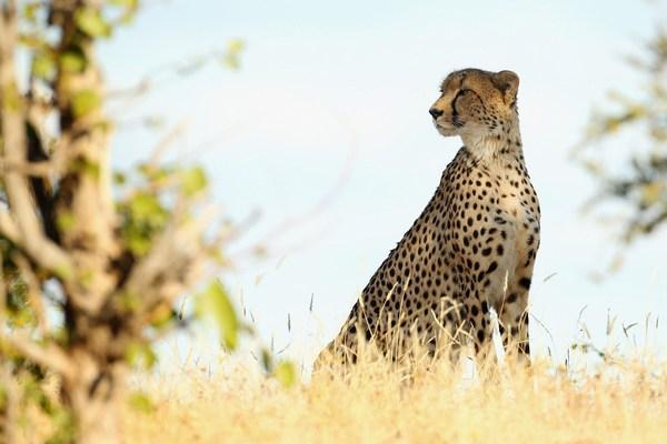 Когда гепард сыт и доволен. Фото:Cameron Spencer/Getty Images