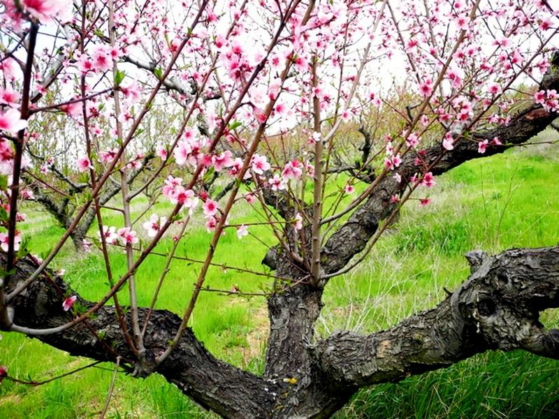 В Крыму цветут персики. Фото: Алла Лавриненко/Великая Эпоха