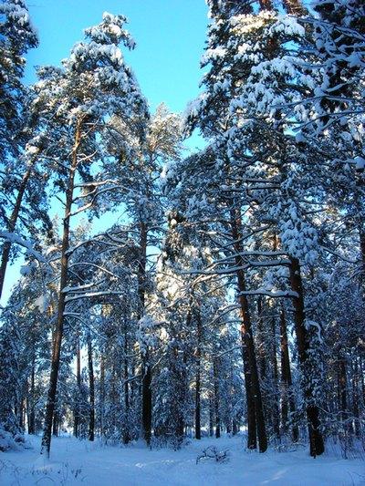 Зимний лес. Киржач Владимирской области.Фото:Алла Лавриненко/The Epoch Times
