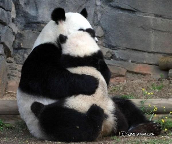 Забавные панды. Фото с secretchina.com