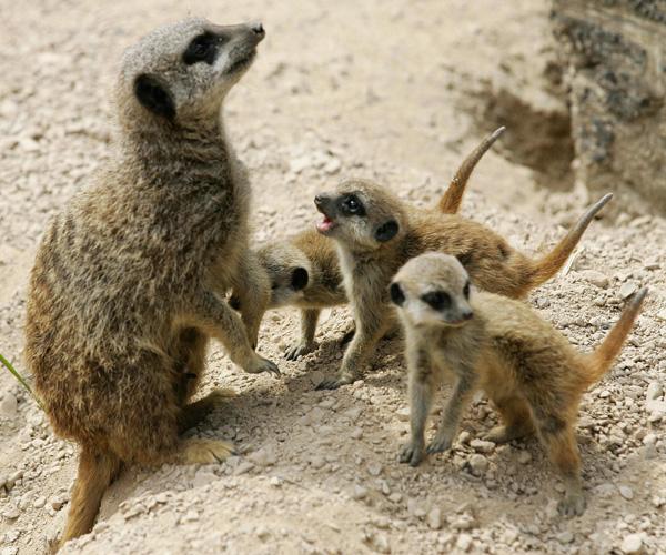 Сурикаты в Лондонском зоопарке. Фото: CARL DE SOUZA/AFP/Getty Images
