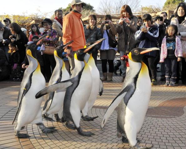 Королевские пингвины развлекают посетителей в местном зоопарке. Токио,Япония. Фото: YOSHIKAZU TSUNO/AFP/Getty Images