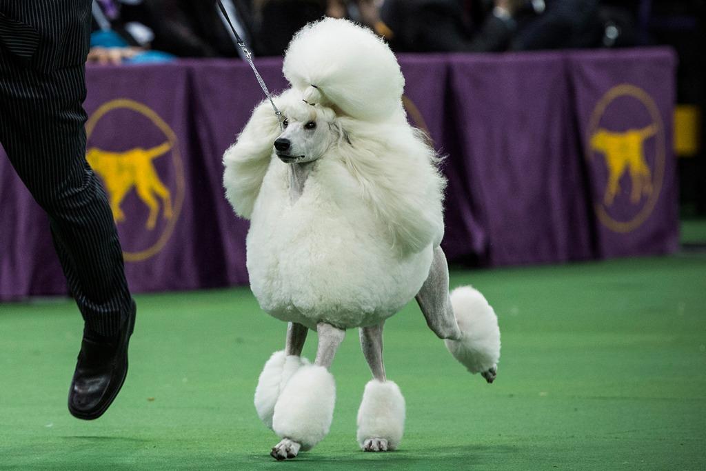 Большой пудель на 138-й Вестминстерской выставке собак. Фото: Andrew Burton/Getty Images