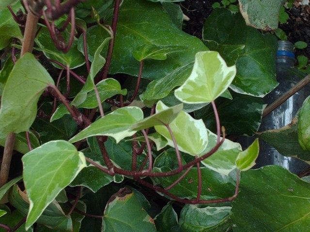 Плющ — это комнатное растение эффективно очищает воздух от формальдегида и компонентов различных аэрозолей. Фото: morguefile.com