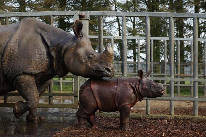 Данстэбл, Англия, 8 января. 4-х недельного детёныша носорога по имени Джамиль впервые показали посетителям зоопарка. Фото: Dan Kitwood/Getty Images