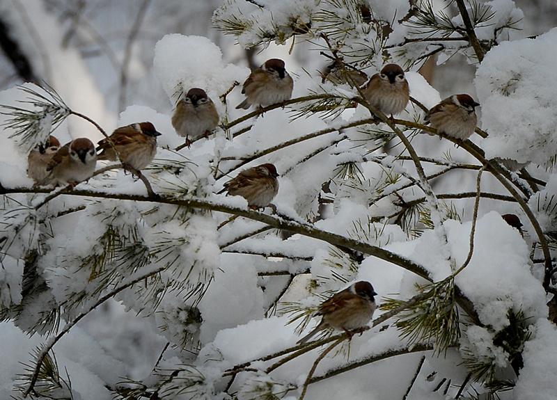 Пекин, Китай, 20 марта. Птицы сидят на засыпанных снегом ветвях деревьев. Север страны переживает самую холодную зиму за последние 30 лет. Фото: MARK RALSTON/AFP/Getty Images