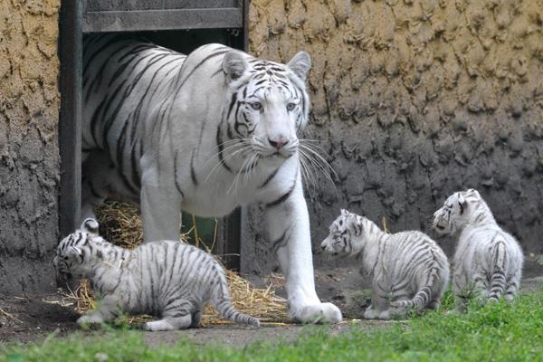 Род белых тигров происходит от бенгальского самца, мутация в окраске которого и стала причиной появления тигров-альбиносов с голубыми глазами и чёрно-коричневыми полосами на белом мехе. Фото: JOCHEN LUEBKE/AFP/Getty Images