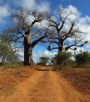 Баобабы в заповеднике Maшату. Фото: Cameron Spencer/Getty Images