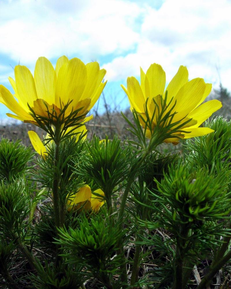 Цветы адониса. Фото: Алла Лавриненко/Великая Эпоха