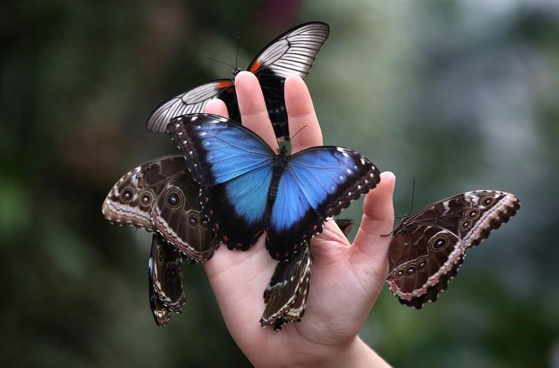 Уокинг, Англия, 11 января. Выставка редких и экзотических бабочек открылась в «Стеклянном доме» Королевского садоводческого общества. Фото: Peter Macdiarmid/Getty Images