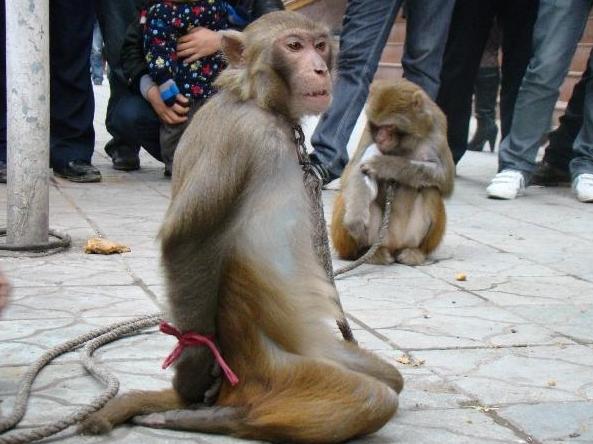 Мартышка со связанными за спиной лапами ждёт наказания за то, что ослушалась хозяина. Фото: epochtimes.com
