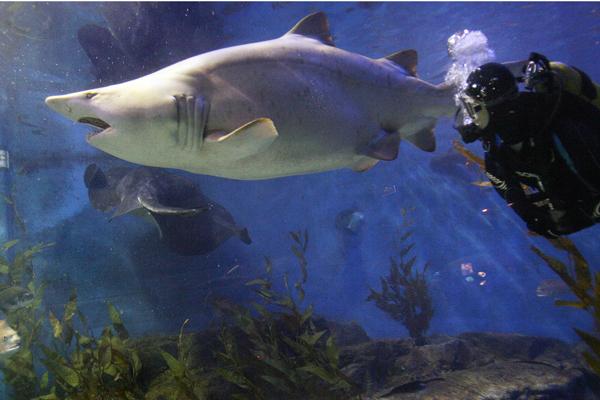 Мельбурн, Австралия. Медсестра-дайвер обследует серую акулу, имеющую избыточный вес. При весе примерно 185-200 килограммов, акуле ограничивают ее ежедневный рацион. Фото: WILLIAM WEST/AFP/Getty Images