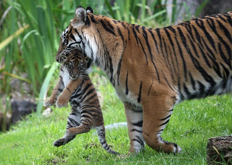 Тигрица Леанна несёт тигрёнка в закрытую часть вольера. Фото: Justin Sullivan/Getty Images