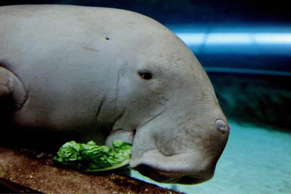 Дюгонь Wuru ест салат-латук во время празднования 21-летия Сиднейского аквариума, который имеет самую большую в мире коллекцию австралийской водной флоры и фауны. Фото: GREG WOOD/AFP/Getty Images