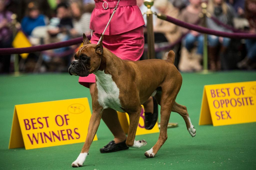 Боксёр на 138-й Вестминстерской выставке собак. Фото: Andrew Burton/Getty Images