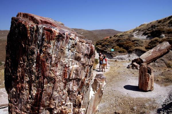 Некогда живые, но затем превратившиеся в камень стволы сосен и кипарисов, возраст которых составляет 20 миллионов лет, внесены в список всемирного наследия ЮНЕСКО. Фото: ARIS MESSINIS/AFP/Getty Images