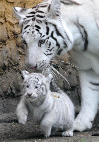 В Китае белый тигр был олицетворением защиты, долголетия и стража мертвых; его изображали на воротах даосских храмов, считая при этом, что он отгоняет злых бесов. Фото: JOCHEN LUEBKE/AFP/Getty