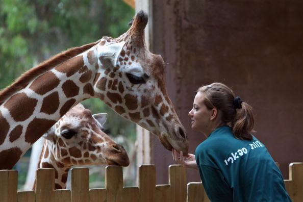 Самка жирафа установила рекорд плодовитости в израильском сафари-парке. Фото: David Silverman/Getty Images