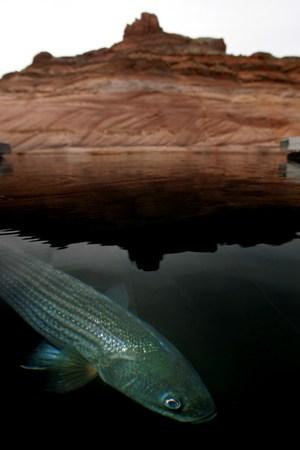 Озеро Пауэлл, США. Фото: David McNew/Getty Images