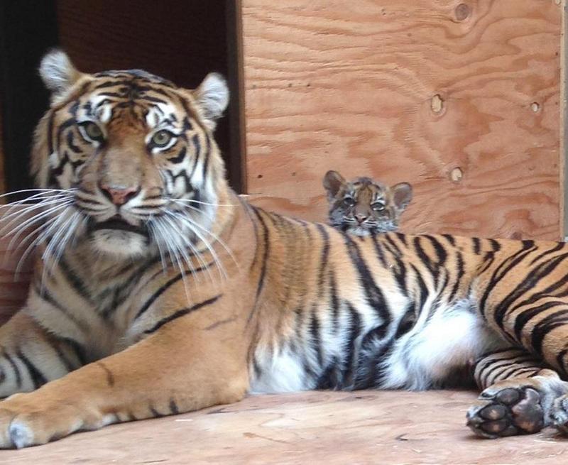 Тигрица Леанна с тигрёнком в зоопарке Сан-Франциско. Фото: Sandy Huang/sanfranzoo/facebook.com