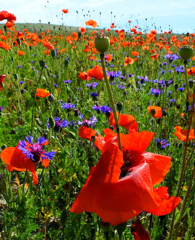 Маки цветут. Бахчисарайский район, Крым. Фото: Алла Лавриненко/Великая Эпоха