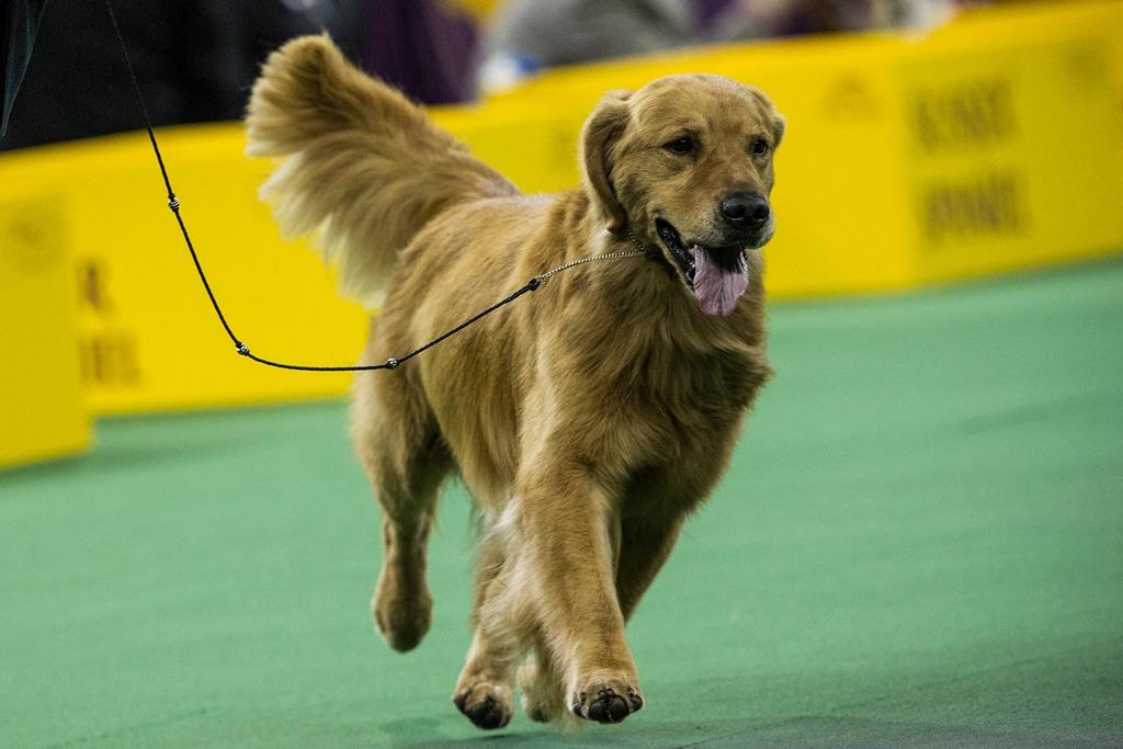 Золотистый ретривер на 138-й Вестминстерской выставке собак. Фото: Andrew Burton/Getty Images