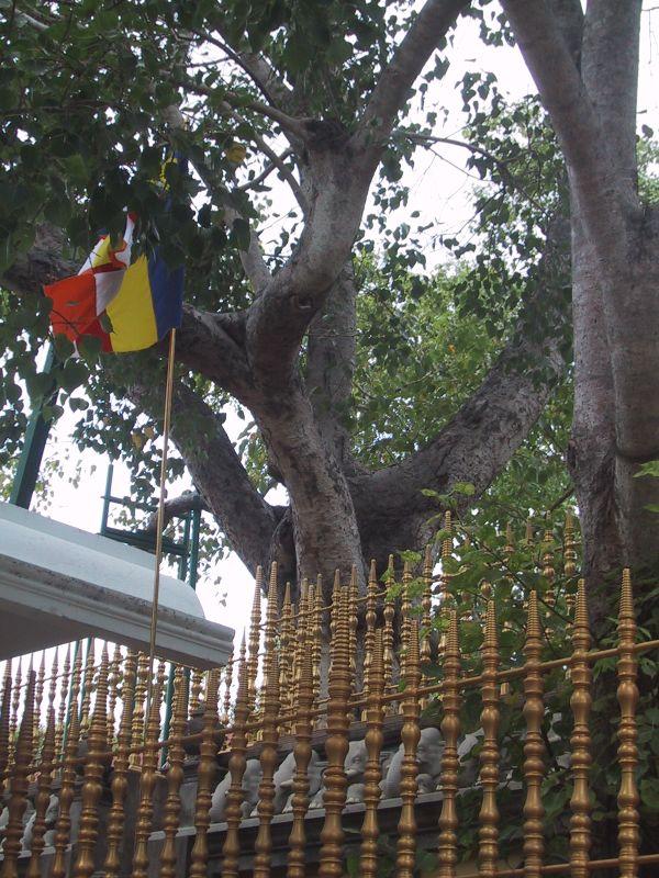 Священное Дерево Бодхи на острове Шри-Ланка. Фото: Prince Roy/Flickr