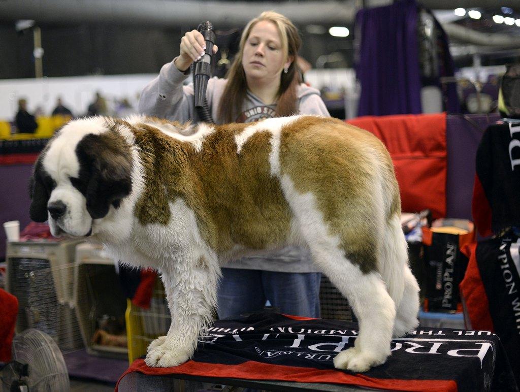 Сенбернар на 138-й Вестминстерской выставке собак. Фото: TIMOTHY CLARY/AFP/Getty Images
