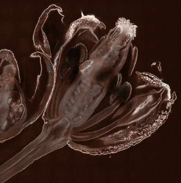 Формирование пыльцы в цветке кресс-салата (Увеличение в 20 раз). Фото сделано в Школе биологических наук Университета Оксфорд Брукс, Великобритания