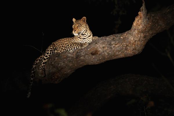 Ночью вы можете увидеть таких животных, такие как леопард и дикобраз – в это время суток они более активны. Фото: Cameron Spencer/Getty Images