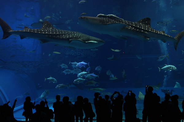 Окинава, Япония. 8-метровая китовая акула плавает с другими рыбами в крупнейшем аквариуме мира размером 8,2 м х 22,5 м. Фото: Koichi Kamoshida / Getty Images