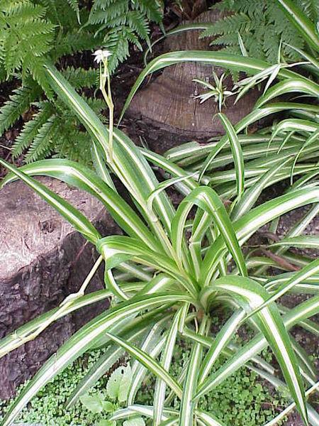 Хлорофитум — высокоэффективный очиститель воздуха. Фото: wikimedia.org