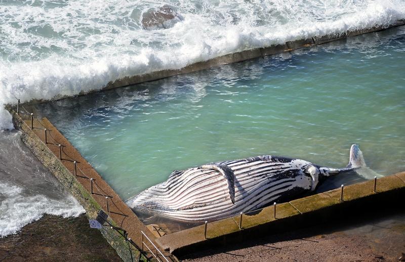 Пляж Ньюпорт, Сидней, Австралия, 1 августа. На побережье лежит туша мёртвого 30-тонного горбатого кита длиной почти 12 метров. Фото: TORSTEN BLACKWOOD/AFP/GettyImages
