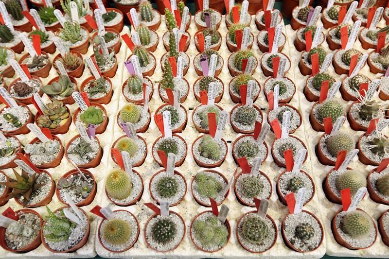 Лондон, Англия, 26 марта. Королевское садоводческое общество проводит ежегодную ярмарку, где кроме нарциссов и гиацинтов можно приобрести также кактусы. Фото: Oli Scarff/Getty Images