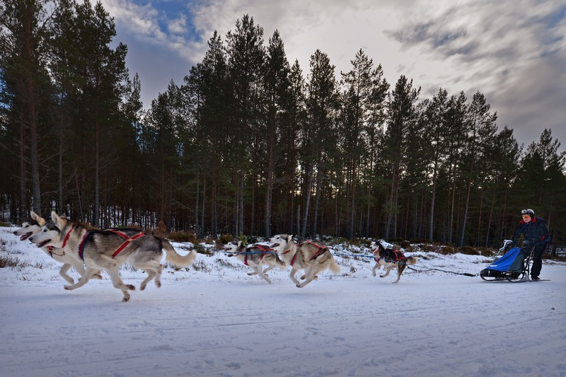 Фешибридж, Шотландия, 23 января. В пригороде состоялись юбилейные 30-е гонки на собачьих упряжках, организованные британским клубом любителей сибирских лаек. Фото: Jeff J Mitchell/Getty Images