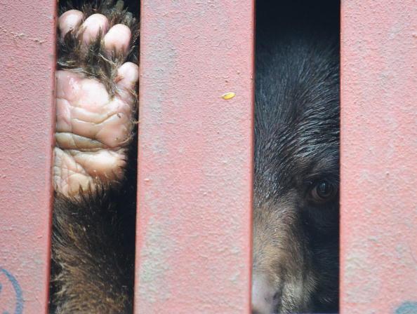 Медведей везут на грузовиках в спасательный центр. Из этих животных, живших в тесных контейнерах, фермеры незаконно извлекали целительную желчь. По мнению защитников животных, это ставит под угрозу дальнейшую жизнь животных. Вьетнам, 21 января 2010 года.