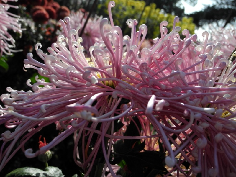 В Никитском саду в Ялте расцвели хризантемы. Фото: Алла Лавриненко/Великая Эпоха