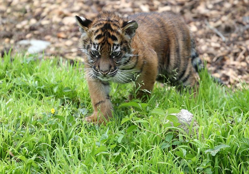 Тигрёнок в зоопарке Сан-Франциско. Фото: Justin Sullivan/Getty Images