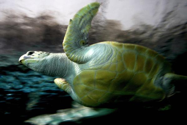 Сидней, Австралия. Томми, 20-летняя 110-килограммовая морская черепаха, обрела новый дом. Фото: GREG WOOD/AFP/Getty Images