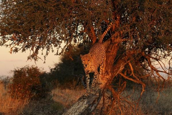 Быстрый и ловкий зверь. Фото:Cameron Spencer/Getty Images