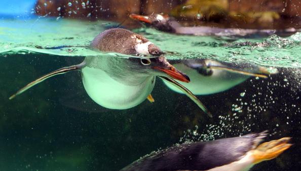Папуасский пингвин, который гнездится в Антарктиде и на островах субантарктического региона, плавает в аквариуме. Мельбурн,Австралия.Фото: WILLIAM WEST/AFP/Getty Images