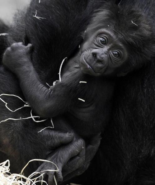 Горилла по имени Багира держит своего ребенка по имени Кайоли, которого она родила 7 декабря 2009 года. Зоопарк, Мюнхен, 22 января 2010. Фото Оливера Ланга /AFP/Getty Images