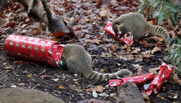 Сурикаты в зоопарке едят свой рождественские подарки - самодельные крекеры. Лондон, Англия Фото: Oli Scarff/Getty Images