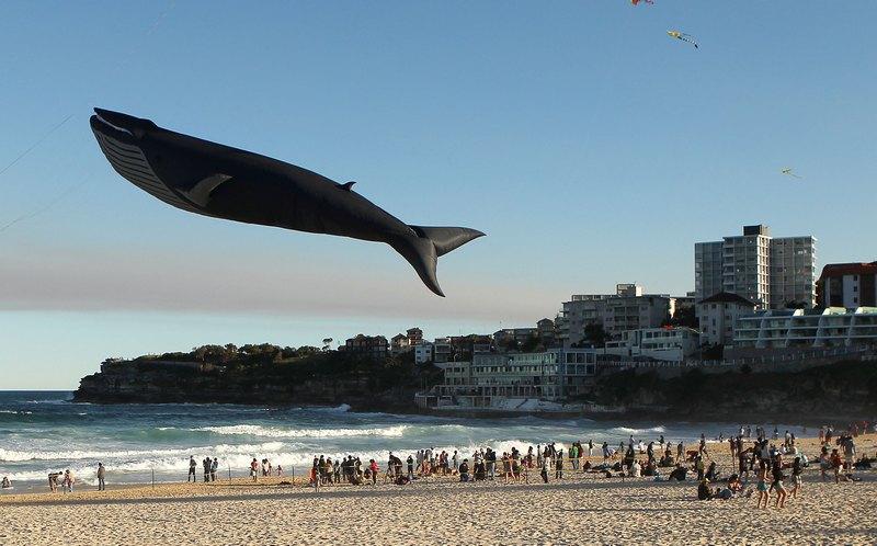 Сидней, Австралия, 9 сентября. Воздушный змей в виде кита парит над пляжем Бонди-Бич во время ежегодного фестиваля воздушных змеев. Фото: Mark Metcalfe/Getty Images