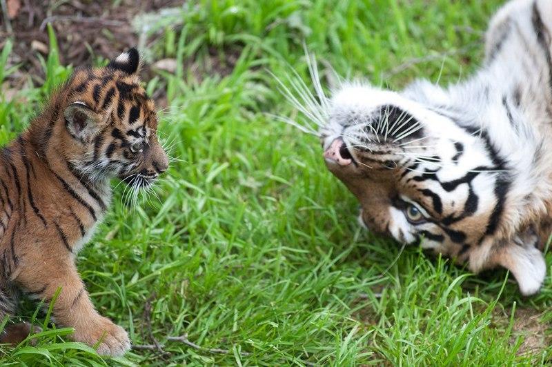 Тигрица Леанна с тигрёнком в зоопарке Сан-Франциско. Фото: Garrison Wu/sanfranzoo/facebook.com