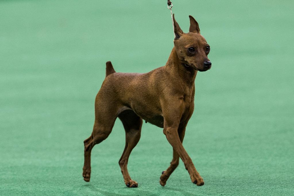 Карликовый пинчер на 138-й Вестминстерской выставке собак. Фото: Andrew Burton/Getty Images