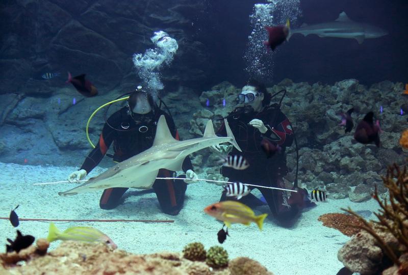 Гамбург, Германия, 27 декабря. Зоологи измеряют длину акулы-зебры во время «переписи населения» в зоопарке. Фото: CHRISTIAN CHARISIUS/AFP/Getty Images